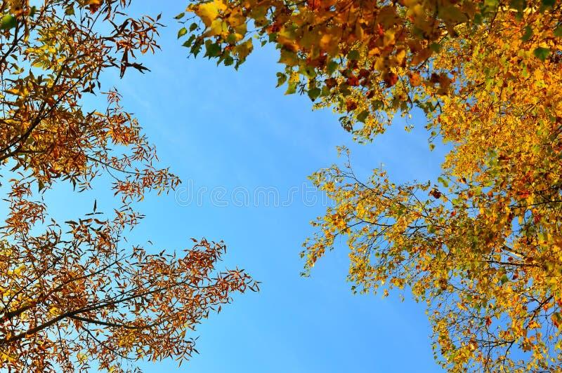 Справочная информация Желтая береза и кленовые листы против яркого голубого неба magenta осени астр много пинк настроения стоковое изображение
