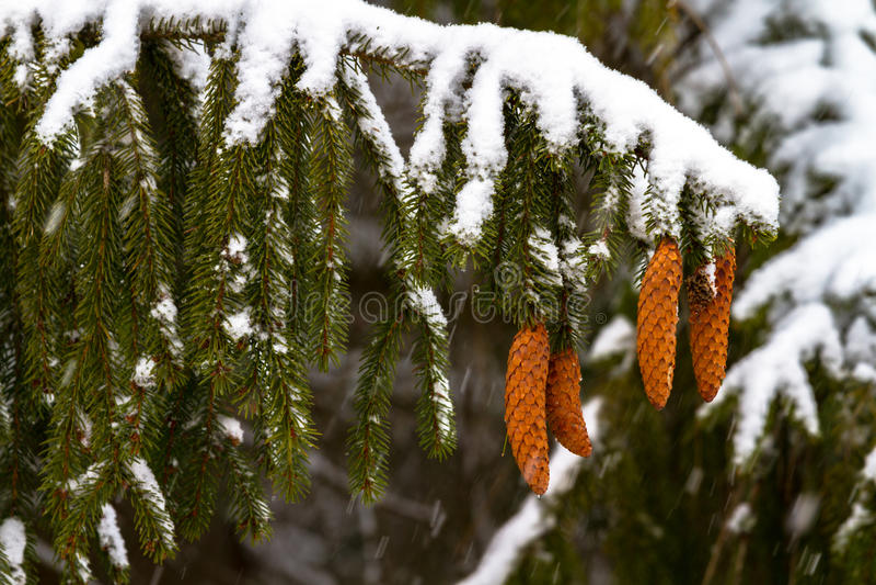 спрус Ветви, конусы, иглы снежок сигнал стоковая фотография