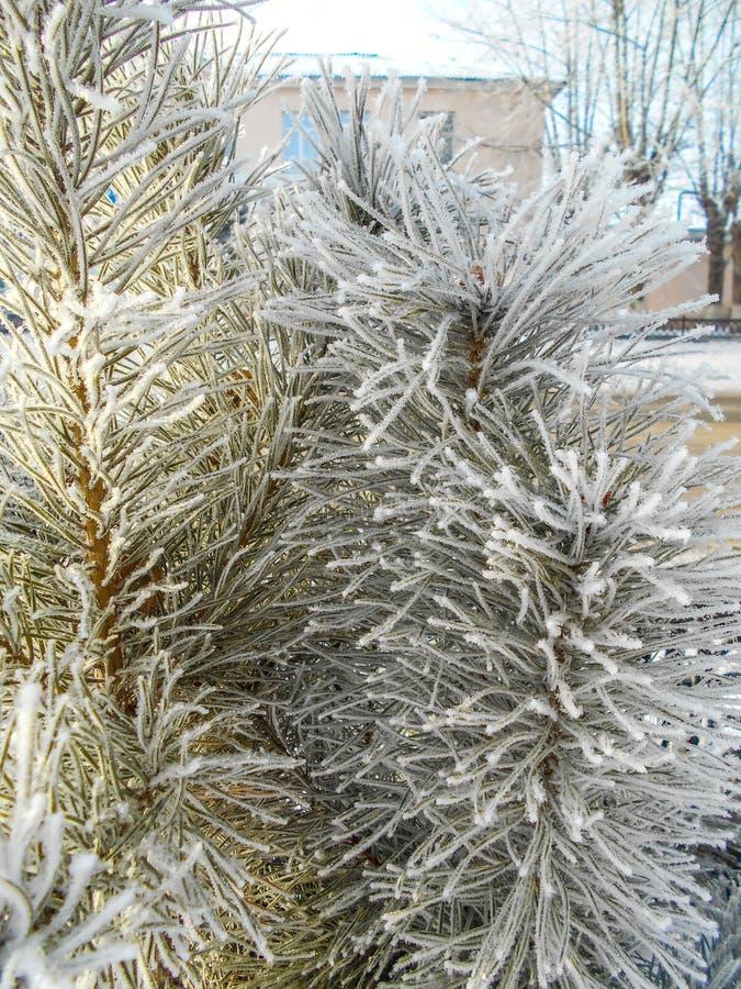 Спрус в снежке покрытые валы снежка сосенки стоковые фото