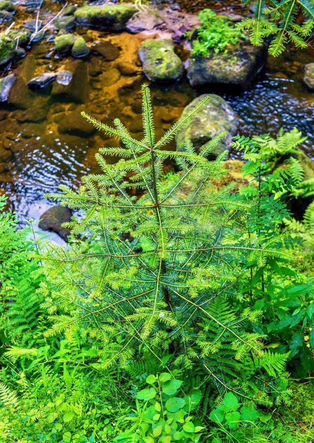 Спрус в черном лесе около водопада Triberg - Германии стоковая фотография