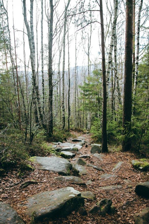 Спрус ели горы лесных деревьев облицовывает потоптанный путь стоковые фото