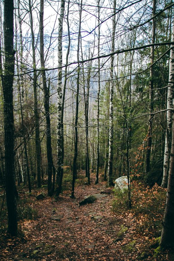 Спрус ели горы лесных деревьев стоковое изображение rf