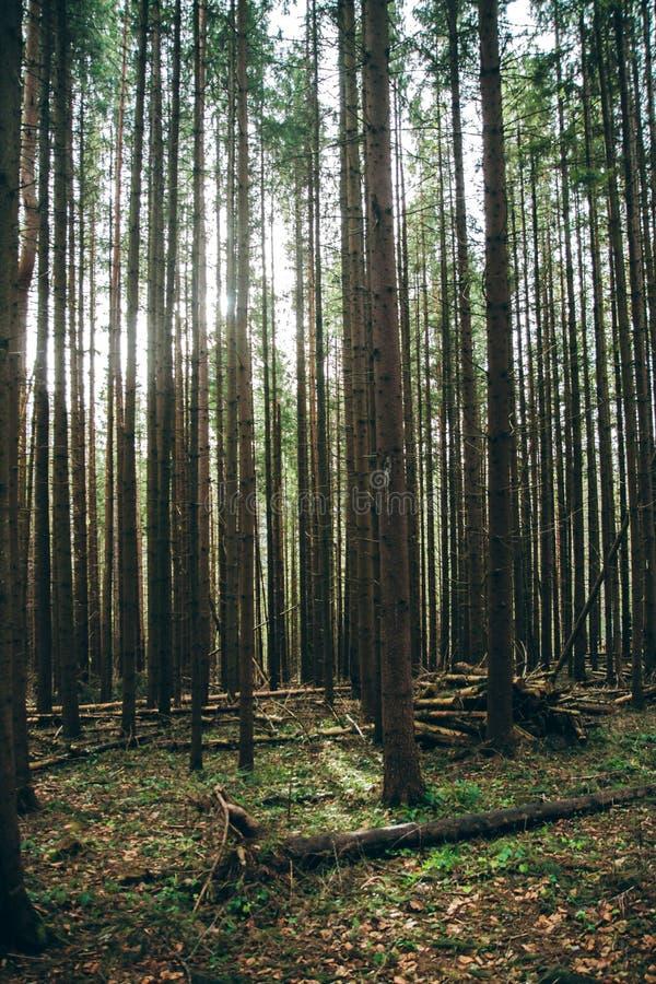 Спрус ели горы лесных деревьев стоковые изображения