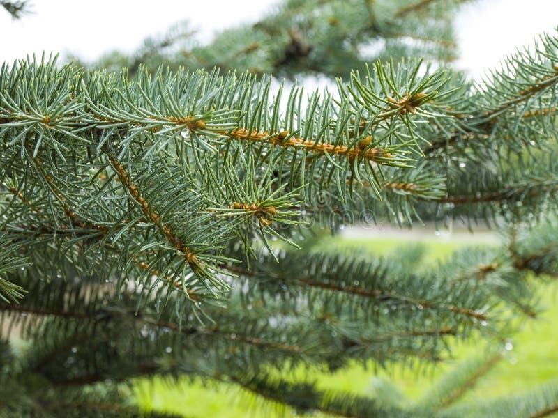 Спрус сини ветви в росе стоковые изображения