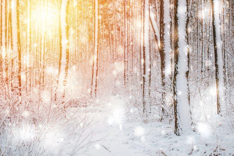 Спрус сосны дерева в волшебной зиме леса с понижаясь днем снега солнечным стоковое фото rf