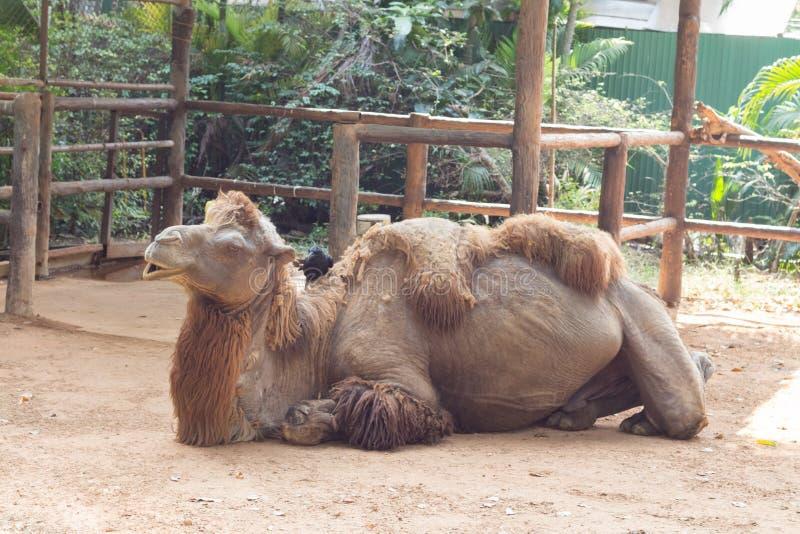 Спуск и сон верблюда сидя стоковое фото rf