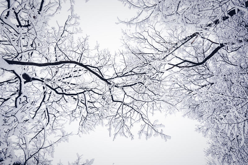 Спутанные деревья в зиме стоковое изображение rf