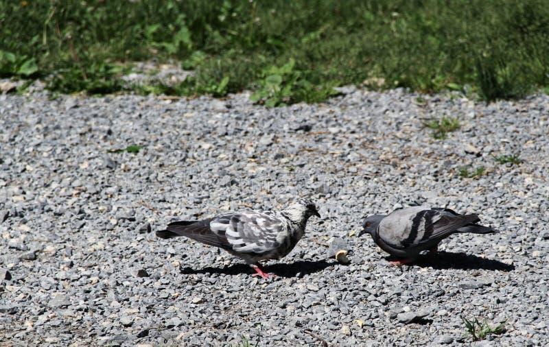 Сражение для хлеба, голубь против голубя стоковые фото