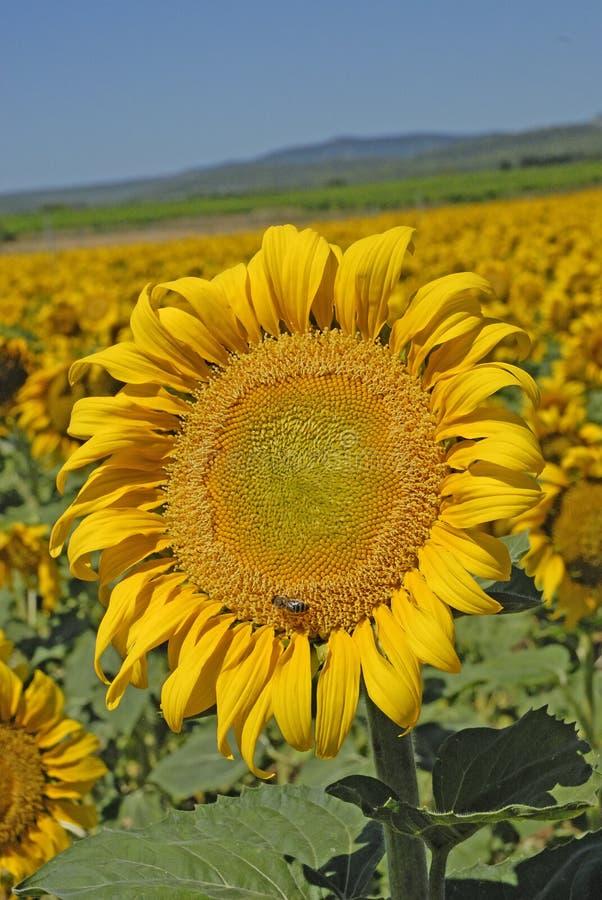 среди много солнцецвет стоковое изображение rf