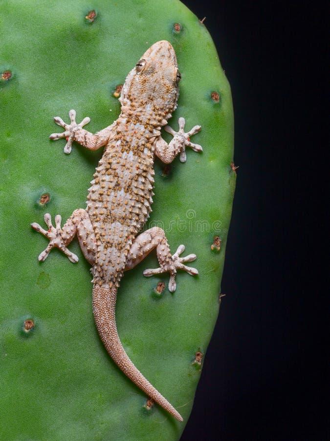 Среднеземноморские гекконовые дома в своей окружающей среде стоковая фотография