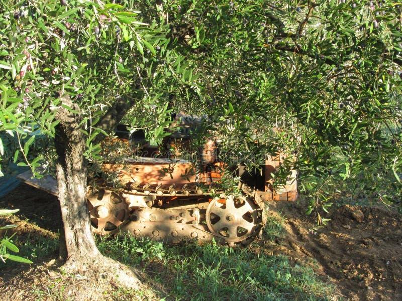 Среднеземноморское оливковое дерево с зрелыми оливками и трактором crawler в предпосылке Италия Тоскана стоковые изображения