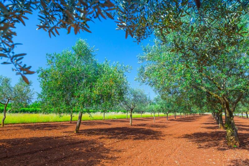 Среднеземноморской ландшафт лета Плантация оливкового дерева традиция стоковое изображение rf