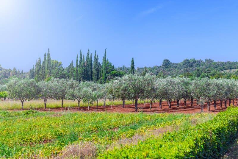Среднеземноморской ландшафт лета Плантация оливкового дерева традиция стоковая фотография