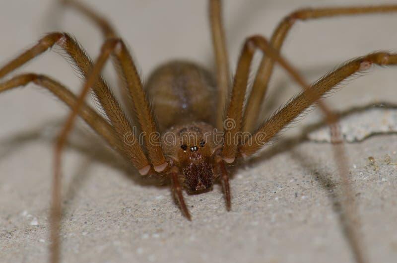 Среднеземноморской паук отшельника стоковое фото