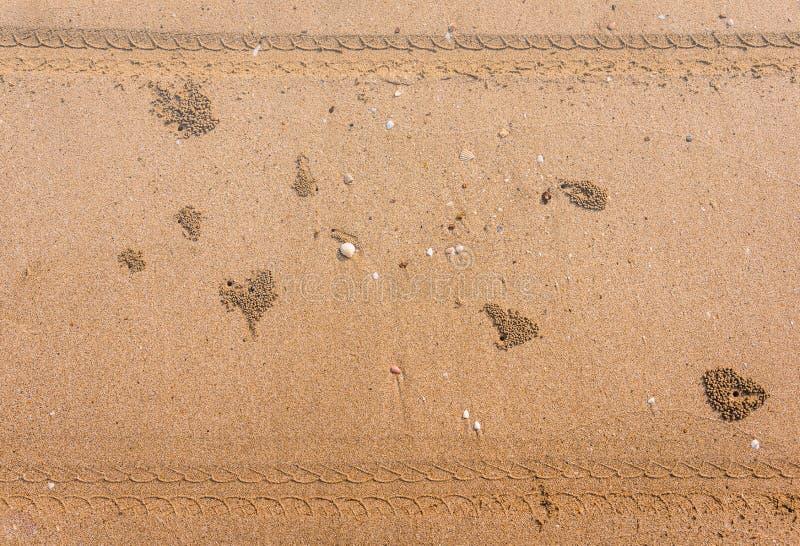 Среда обитания краба призрака на песке стоковое фото