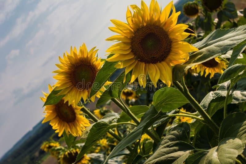 среди много солнцецвет стоковые изображения