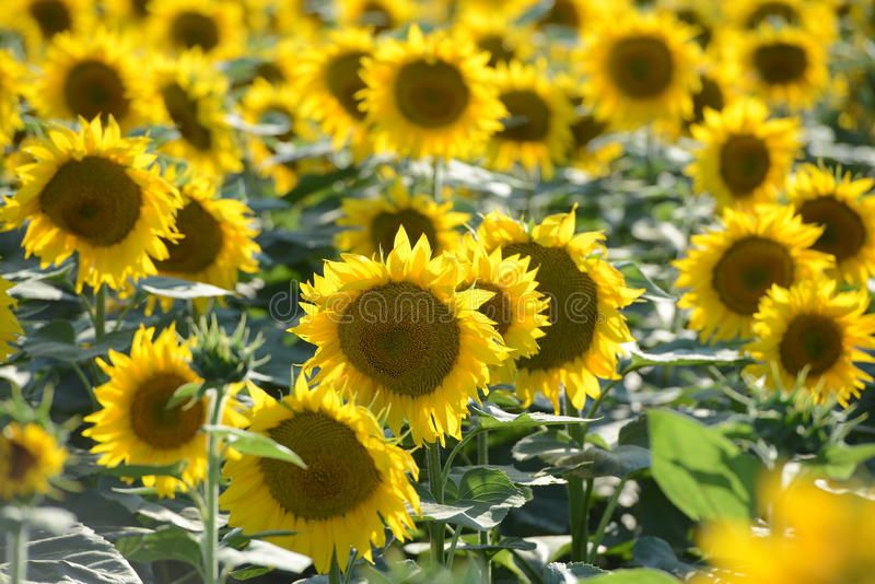 среди много солнцецвет стоковое фото rf