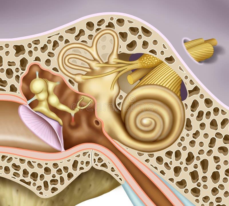 Среднее и внутреннееое ух ухо иллюстрация вектора