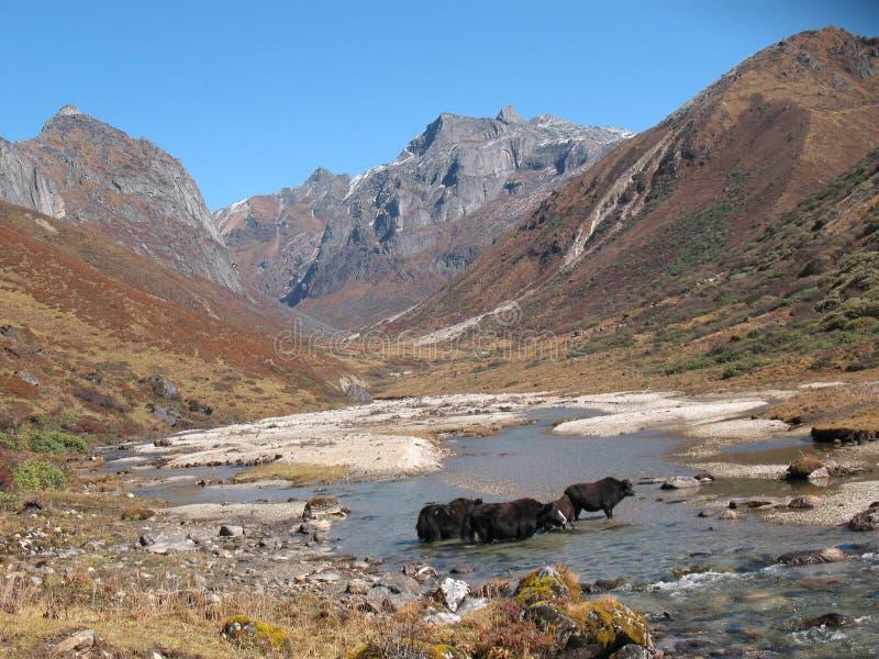 Среды обитания яков стоковое изображение rf