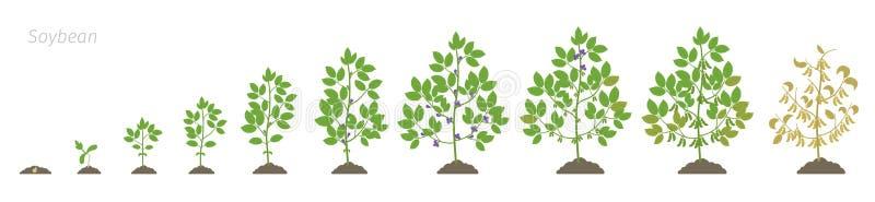 Стадии роста соевого растения фазы сои устанавливают период созревания Максимальный жизненный цикл глицина, прогрессирование аним иллюстрация штока