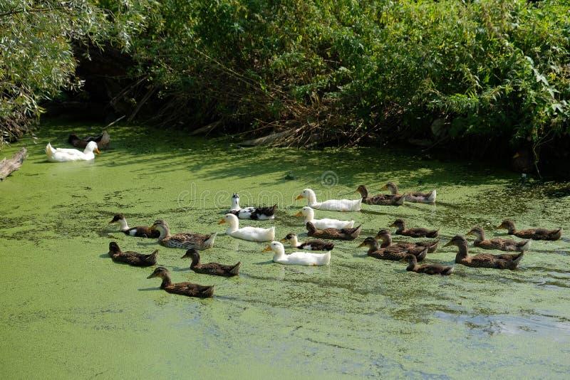 Стадо белых и коричневых уток в озере или перерастанном прудом острословии стоковое изображение rf