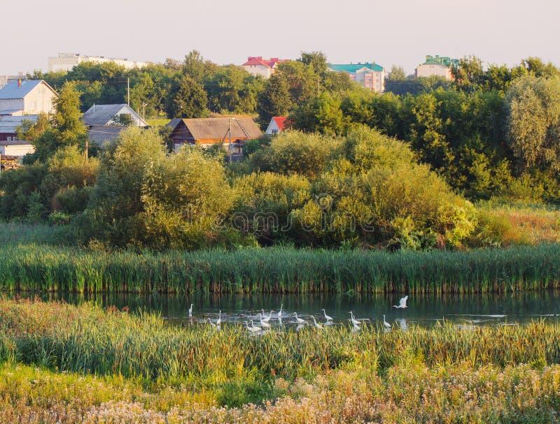 Стадо белых цапель на озере стоковое фото