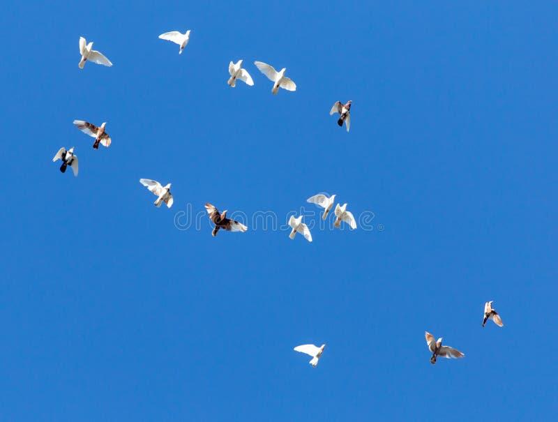 Стадо голубей летает в голубое небо стоковая фотография