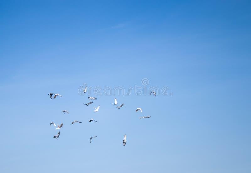 Стадо голубей летая в облака Голуби витали к голубому небу стоковая фотография