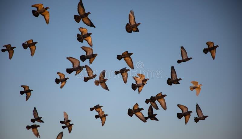 Стадо голубей летая с голубым небом в предпосылке стоковая фотография