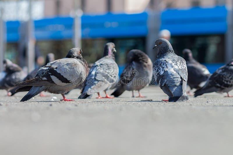 Стадо голубей на мостовой в городской среде с голубым трамваем в предпосылке стоковые изображения