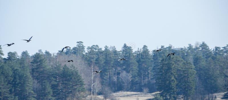 Стадо гусынь greylag летая с лесом на заднем плане стоковые изображения rf