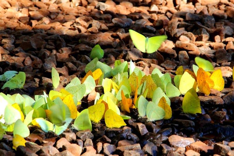 Стадо желтого philea Phoebis бабочек в национальном парке Iguassu - Аргентине стоковое изображение rf