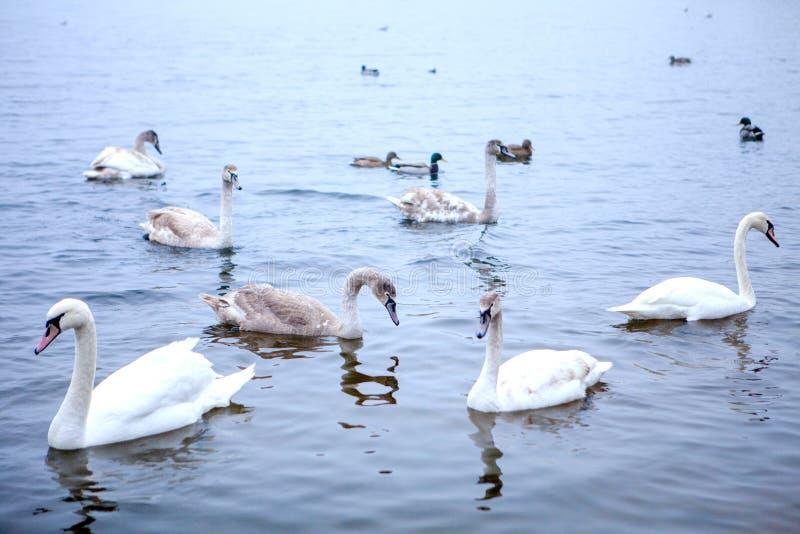 Стадо заплывов лебедей на реке стоковое изображение