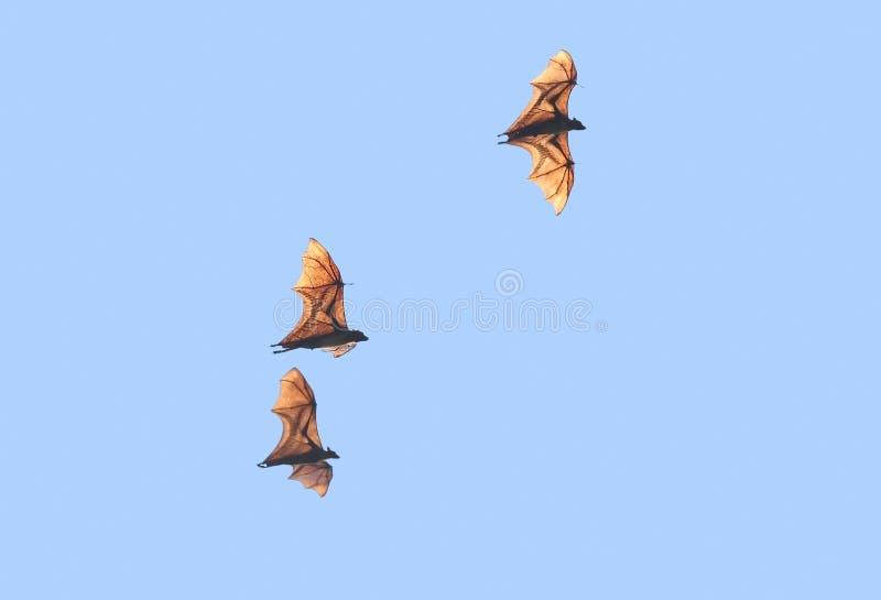 Стадо индийской летучей мыши лисы стоковые изображения