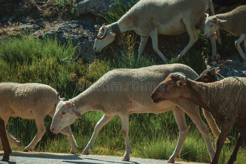 Стадо коз пася на зеленом sward с кустами стоковые изображения