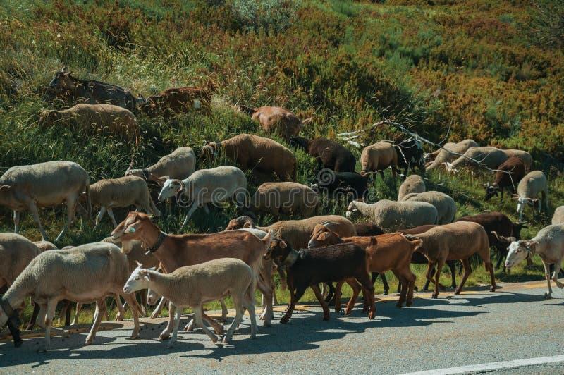 Стадо коз пася на sward рядом с дорогой стоковые изображения