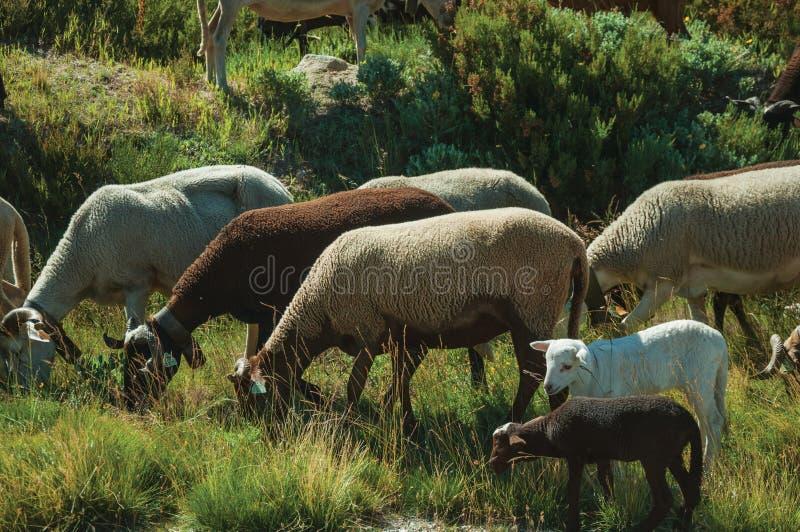 Стадо коз пася на sward рядом с дорогой стоковые изображения rf