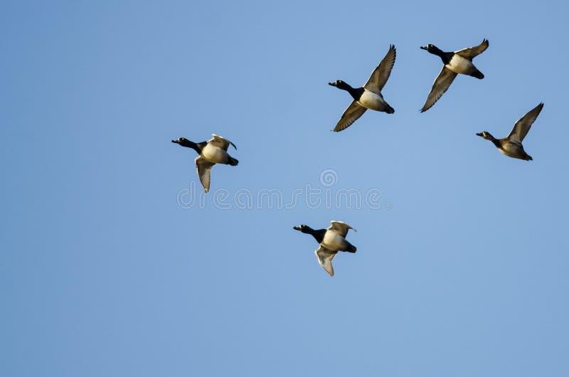 Стадо Кольц-Necked уток летая в голубое небо стоковые фотографии rf