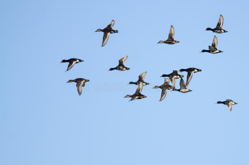 Стадо Кольц-Necked уток летая в голубое небо стоковые изображения rf