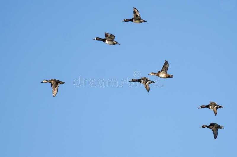 Стадо Кольц-Necked уток летая в голубое небо стоковые изображения