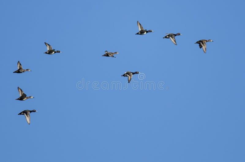 Стадо Кольц-Necked уток летая в голубое небо стоковая фотография