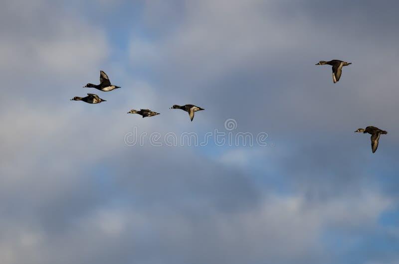 Стадо Кольц-Necked уток летая в облачное небо стоковое изображение