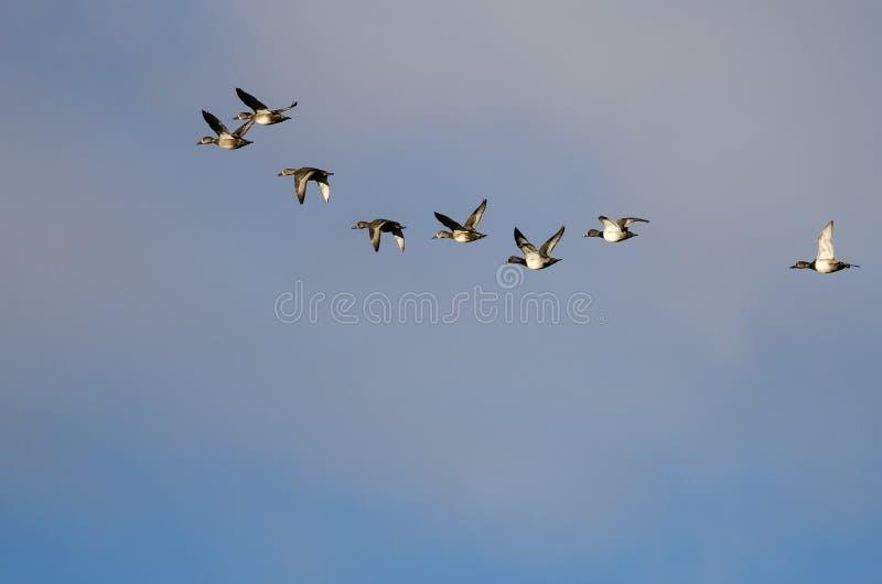Стадо Кольц-Necked уток летая в облачное небо стоковое фото rf
