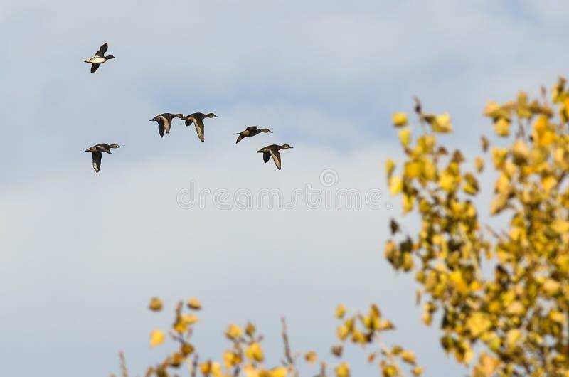Стадо Кольц-Necked уток летая за деревьями осени стоковое фото