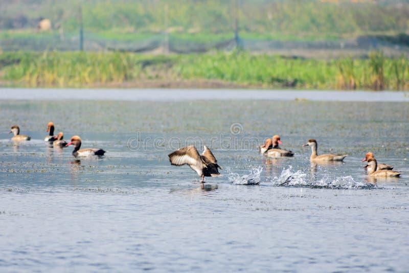 Стадо кочующего красного crested летания pochard на озере Пресноводные и прибрежные виды птиц запятнанные в птице Vedanthangal wa стоковые фото