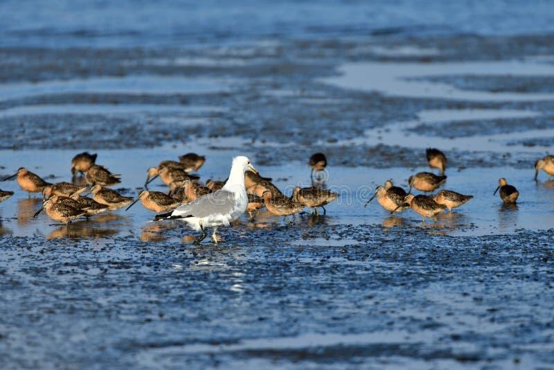 Стадо куликов и чайки стоковые фотографии rf