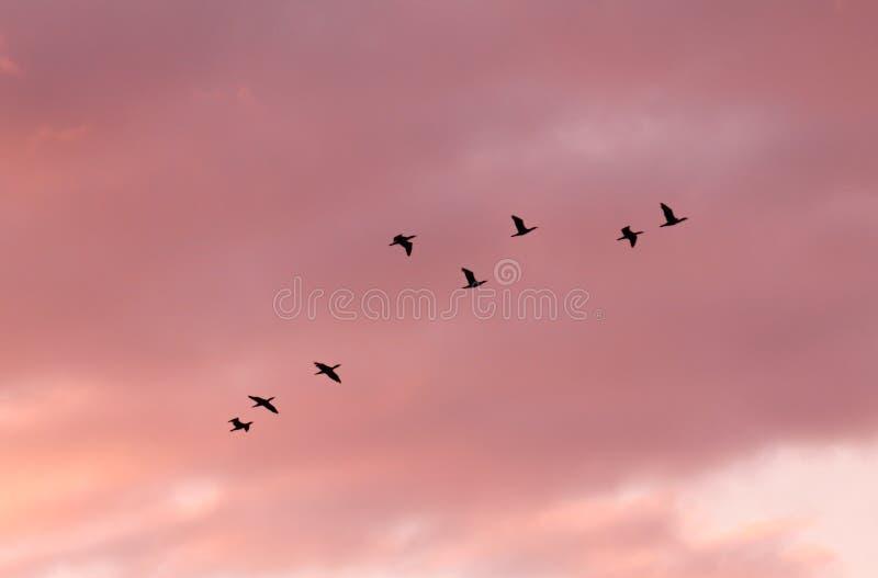 Стадо летания птиц стоковое фото rf
