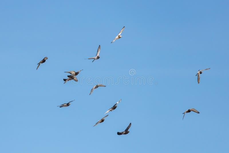 Стадо летать одичалые голуби на предпосылке голубого неба стоковое изображение