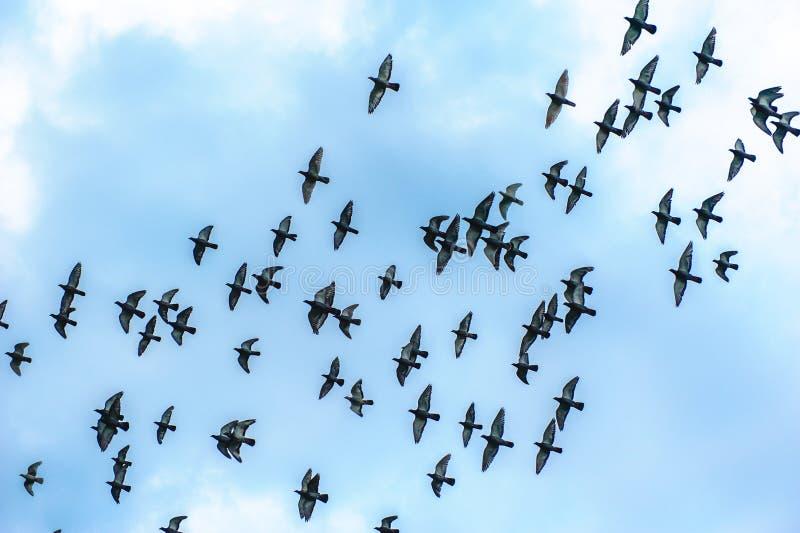 Стадо летая голубей стоковые фото