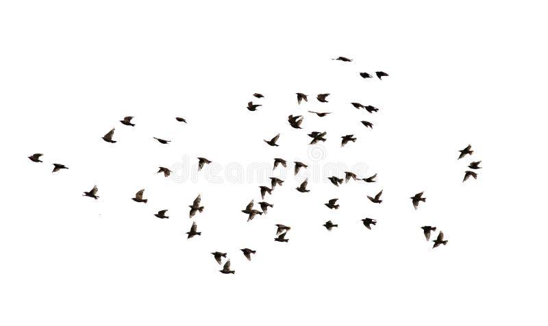 Стадо многочисленных черных птиц Starling летая в расстояние стоковое фото rf